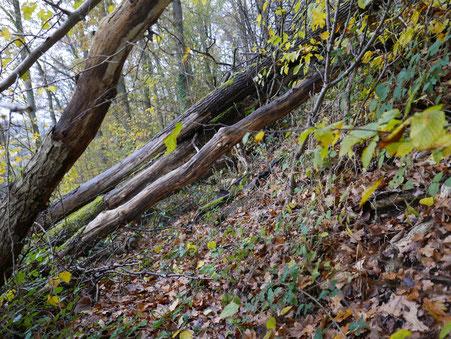 Aufgrund der Steillage müssen besondere Sicherungsvorkehrungen getroffen werden um ein Abrutschen zu verhindern. Das verbleibende Totholz, sowohl stehend als auch am Boden ist wertvoller ökologischer Lebensraum