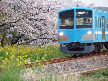 ●桜と菜の花と電車:今回のスタンプラリーエリアの真ん中を南北に走る西武多摩川線。野川と交差する二枚橋の近くで撮った1枚です。
