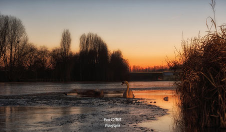 cygne swan ice glace canal channel sun soleil sunset coucher de soleil saint quentin gayant