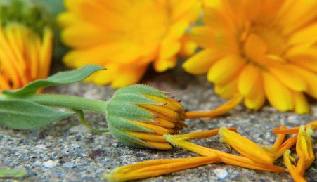 Sonnenblume steinboden phytotherapie