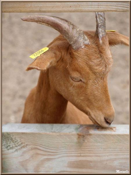 Chèvre marron, Parc de la Coccinelle, mini-ferme à Gujan-Mestras, Bassin d'Arcachon (33)