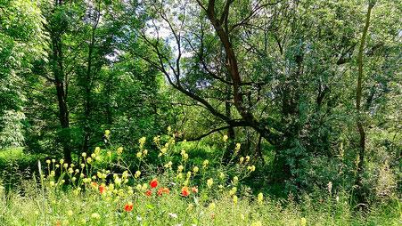 ~ Bild: Okeraue bei Hillerse, Landkreis Gifhorn ~