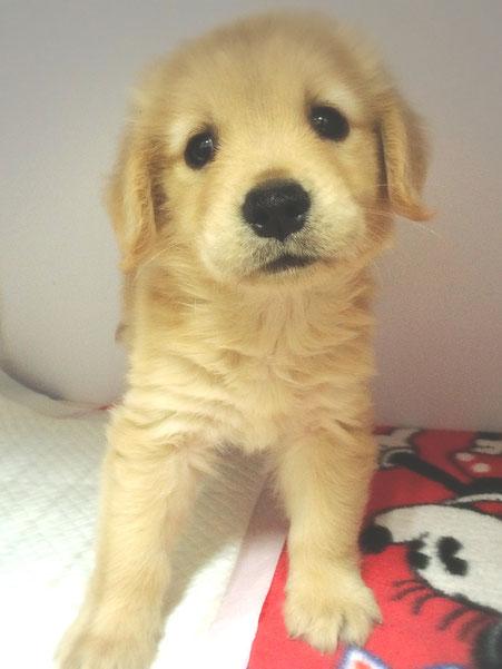 ゴールデンレトリバー子犬