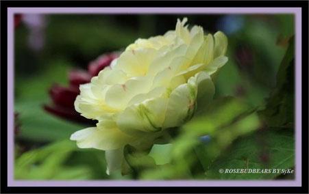 Fluwel-Tulpen in meinem Garten - 'Danceline' in weiß - 'Dreamtouch' in dunkelstem Rot