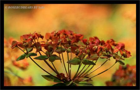 eine Euphorbie in Herbstfarben
