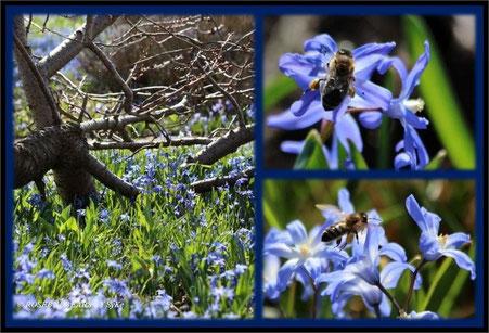 Berggarten Hannover Scilla Bienen