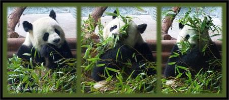 Panda Zoo Hannover