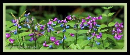 die Blüten der Frühlings-Platterbse (Lathyrus vernus) sind in in diesem Jahr etwas spät dran