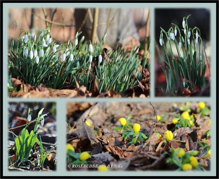 Schneeglöckchen und Winterlinge im Berggarten in Hannover-Herrenhausen