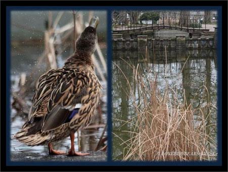 ein Badeparadies für Enten in Hannovers Stadtpark - und danach einmal schütteln