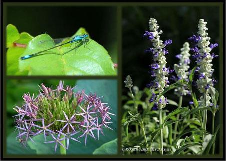 Libellen passen irgendwie zu Märchen - eine blaue Becherjungfer - schöne Alliumblüte - Muskatellersalbei für den Zaubertrank