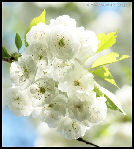 weiße Zierkirschenblüten