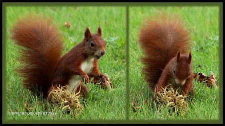Eichhörnchen Haselnüsse