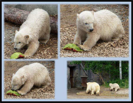 Hannover Zoo Eisbären