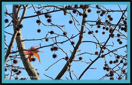 der Amberbaum richtet sich auf den Winter ein