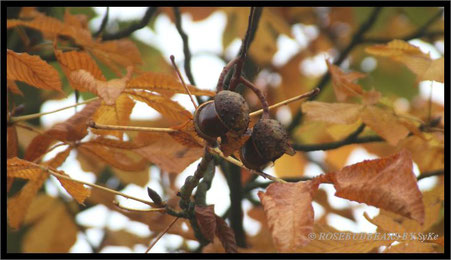 Kastanien und Eicheln gibt es in diesem Herbst reichlich