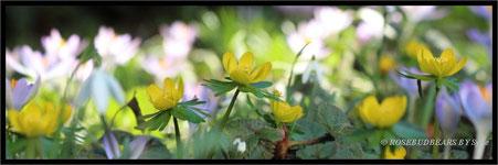 Winterlinge Frühlingsbeet