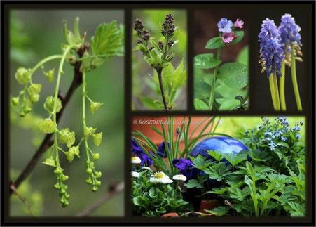 Johannisbeere Blüte Flieder Pulmonaria Traubenhyacinthe