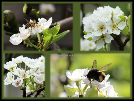 Birnbaum Blüten Hummel Biene