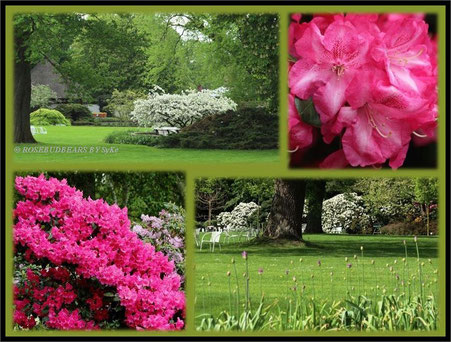 Hannover Stadtpark Rhododendronblüte