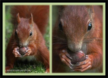 Eine Haselnuss geht immer - Eichhörnchen-Weisheit
