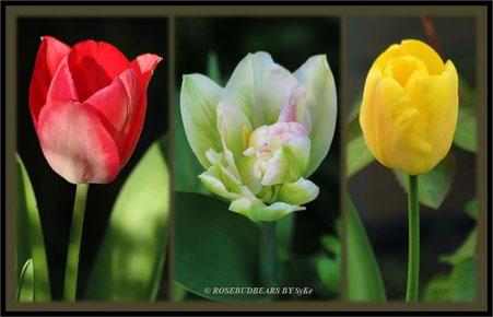 ... und die ersten Tulpen öffnen die Blüten