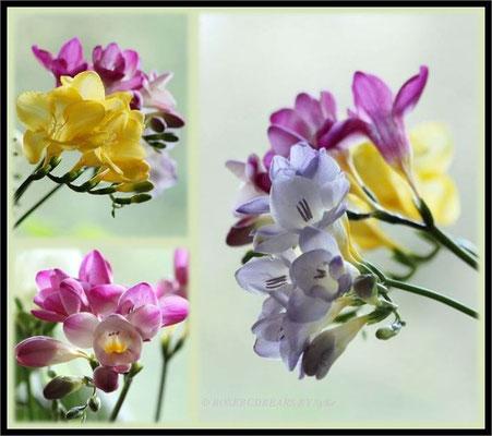 Freesien in zarten Farben
