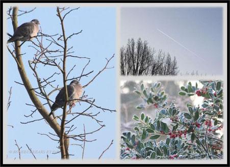 aufgeplusterte Tauben am Frosttag