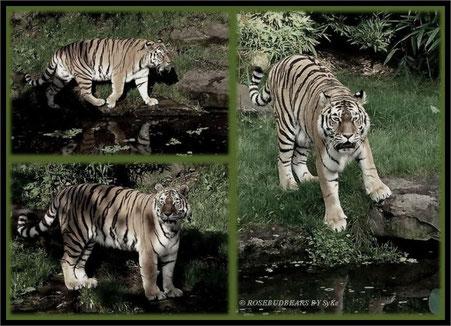 ein echter Tiger im Allwetterzoo Münster - unbedingt einen Besuch wert