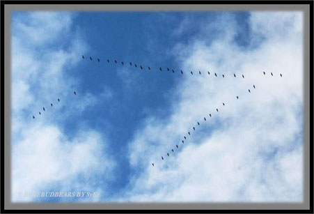 Vogelzug Gänse