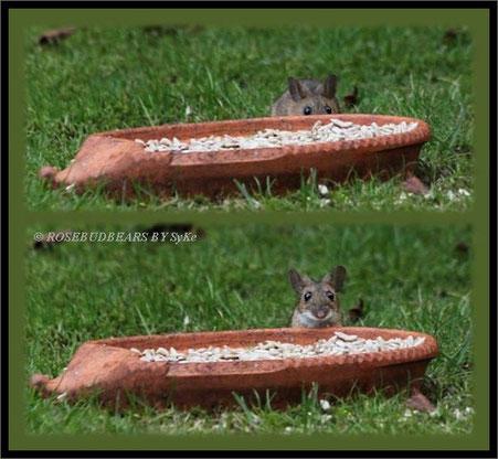 Waldmaus Speedy ist neugierig