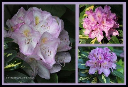 Rhododendron Gomer Waterer Blattgold