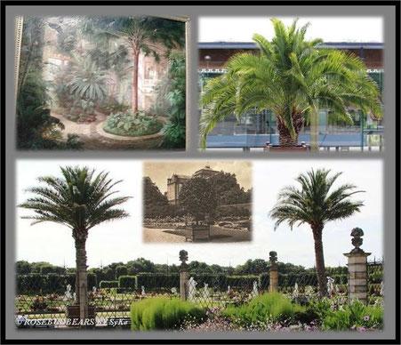 Palmen in Herrenhausen - echte im großen Garten - im Museum gemalt die Livistonia- auf Postkarte das große Palmenhaus