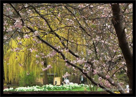 Stadtpark Hannover blühender Kirschbaum