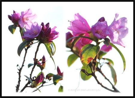 mein ungeduldiger Rhododendron blüht schon ein wenig