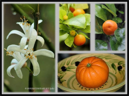 Zitronenblüten und meine Calamondin-Orange in meinem Gewächshaus