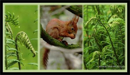 ein junges Eichhörnchen beim Frühstück - Farn wird nicht gegessen, da fast alle Arten giftig sind, nur zwei sind im ganz jungen Stadium der eingerollten Wedel essbar - nicht ausprobieren!