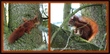 zwei Eichhörnchen hoch im Baum