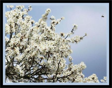 Blütenhecken bei Isernhagen
