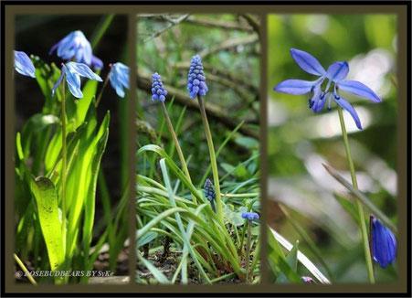 Frühling im Garten - Scillablüten und Traubenhyazinthen