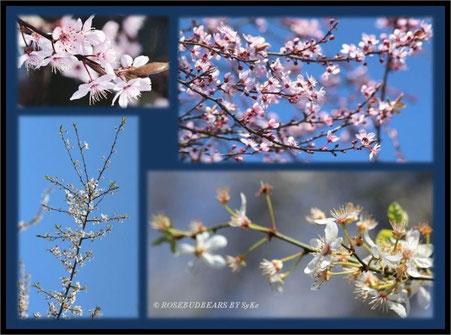 erste zarte Kirschblüten