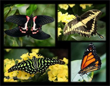 Hannover Schmetterlinge Berggarten  Gaukler der Tropen