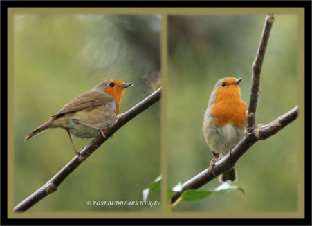 das Rotkehlchen überlegt noch - singen oder nicht singen?