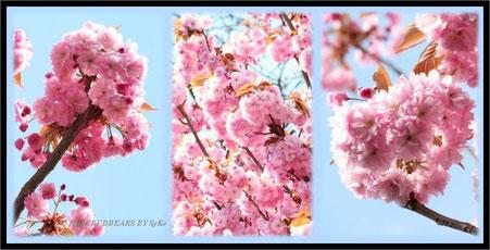 japanische Zierkirsche Kirschbaumblüte in Hannover