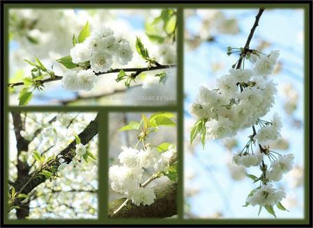 Kirschblüten Hannover Alte Bult Hiroshima-Gedenkhain