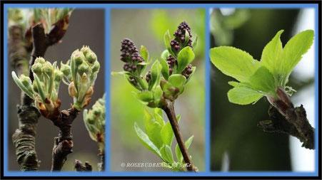 Auf die Plätze - Fertig - Los : Birnbaum, Flieder und Apfelbaum
