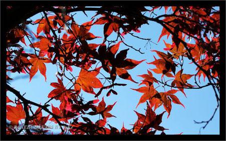 Herbstblätter Ahorn