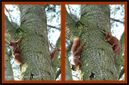 Eichhörnchen beim Spiel