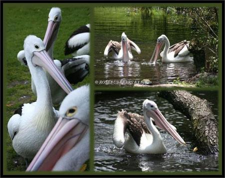Brillenpelikane im Vogelpark Walsrode