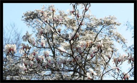 Hannover Herrenhausen Berggarten Magnolienblüte